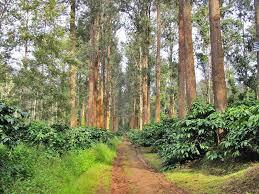 grevillea robusta silk oak tree indian estates