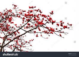 Cotton Tree Interiors Blossom Red Silk Cotton Tree Latin Stock Photo 132574010