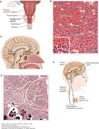 endocrine system the big picture histology