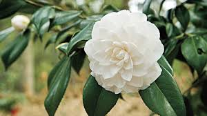 using georgia native plants july the complete guide to camellias southern living