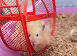 How To Care For Your by Hamster Care 101 How To Care For Your Hamster Petmd