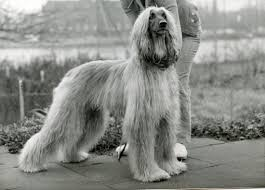 afghan hound saddle history eta pauptit and the vdom afghan hounds