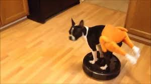 funny animal thanksgiving pictures boston terrier turkey riding roomba youtube