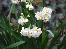 japanese winter flower u2013 narcissus jersey joshii