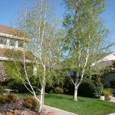 betula jacquemonti himalyan birch tree scotplants direct