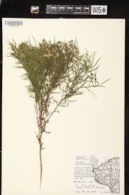 sc native plants online virtual flora of wisconsin euthamia gymnospermoides