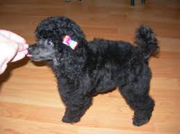 pictures of poodle haircuts ideas about poodle haircut cuts backgrounds with puppy cut