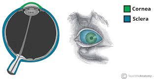 Surface Anatomy Eye The Eyeball Structure Vasculature Teachmeanatomy