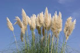 Type Of Grass For Garden Cortaderia Selloana Wikipedia