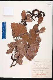 florida keys native plants pithecellobium keyense species page isb atlas of florida plants