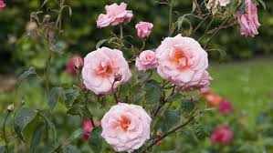 what is the national flower of england reference com