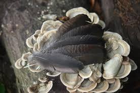 feathers wild osceola turkey wing feathers set of 5 home