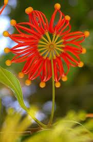 Rainforest Passion Flower - stenocarpus sinuatus royal botanic garden melbourne vic 05 03