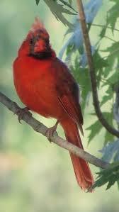 cardinal bird home decor 740 best cardinals images on pinterest cardinal birds beautiful