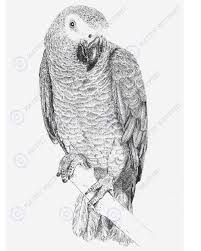 african grey parrot clipart sketch pencil and in color african