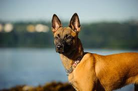 belgian shepherd labrador retriever mix belgian malinois vs german shepherd which dog makes the perfect pet
