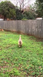 australian shepherd jumping fence australian cattle dog jumps fence in stride youtube