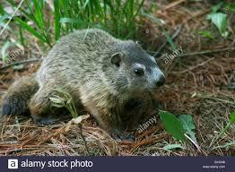 baby groundhog or woodchuck marmota monax eastern north america