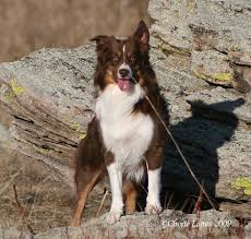 australian shepherd tri red tri mini australian shepherd abby u0027s ears do the same thing a