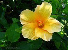Yellow Hibiscus Flowers - yellow hibiscus flower art pinterest yellow hibiscus