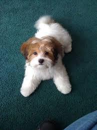 shih pooh haircut bichon frise maltese poodle shih tzu designer breeds puppy
