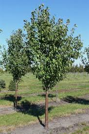ornamental pear tree ornamental pear tree gardening guide inspired