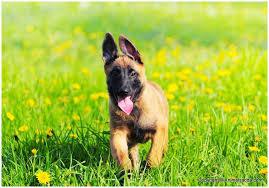 belgian malinois en espanol belgian malinois facts pictures puppies temperament breeders