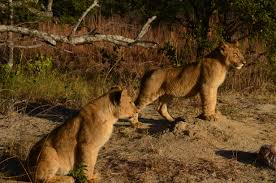imagenes de leones salvajes gratis fotos gratis animal linda fauna silvestre arbusto joven