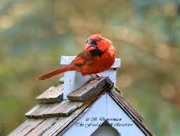 the fieldbrook reserve birds of a feather cardinals