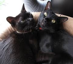 Kentucky traveling with cats images The american bombay cat was bred in 1958 in louisville kentucky jpg