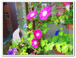 Morning Glory Climbing Plant - flower seeds mix color morning glory seeds balcony decorations