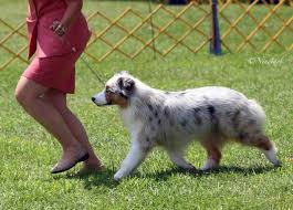 mdr1 australian shepherd our girls