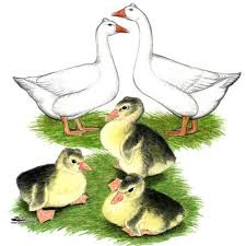 where can i buy duck 77 best ducks and geese images on raising ducks duck