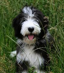 bearded collie adoption gallery puppies pictures