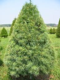 white pine trees white pine the christmas tree patch