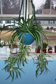 Best Small Bedroom Plants Best 10 Spider Plants Ideas On Pinterest Indoor House Plants