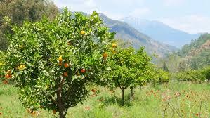 winter change coming orange trees snowy mountain