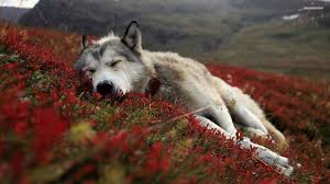 82 entries in baby wolf wallpapers group