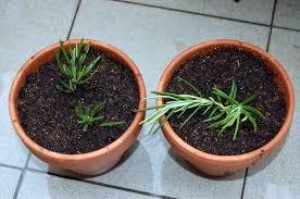 how to grow herb indoors with 11 easy tips indoor plants expert