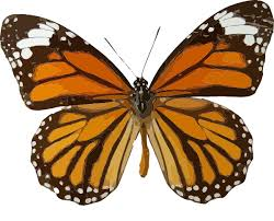 butterfly common tiger danaus genutia animals bugs butterfly