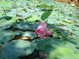 file lotus flower in a pond in kerala jpg wikimedia commons