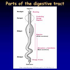 digestion ppt video online download