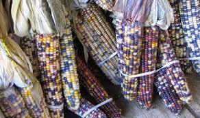 ornamental corns flour corn and popcorn lirsc