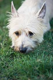 cairn terrier haircuts how to brush a cairn terrier pets