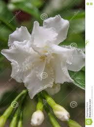 cape jasmine gareden gardenia gerdenia bunga cina flower stock