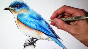 drawing lapse blue bird