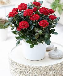 indoor roses bakker com