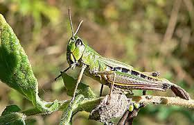 external anatomy of the grasshopper