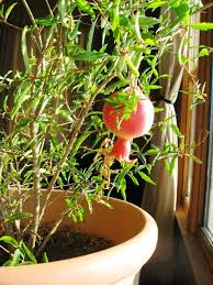 Indoor Vegetable Container Gardening - best 25 pomegranate growing ideas on pinterest