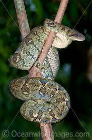 Madagascar Blind Snake Worldwide Snake Pictures Images Photos